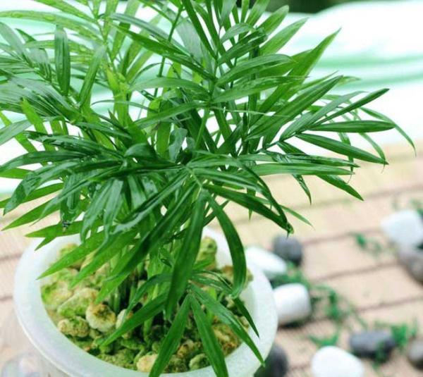 Cây cau trúc, trồng các chậu cây nhỏ cũng giúp người mệnh mộc tăng thêm vượng khí