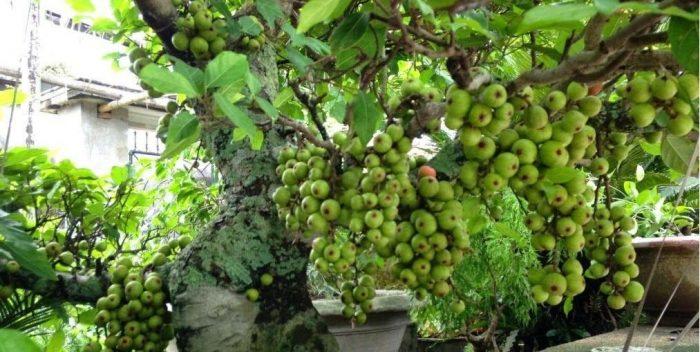 Cây sung chùm phổ biến ở Việt Nam