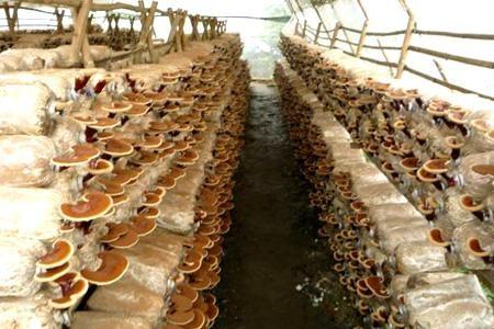 Hiện nay có 6 loại nấm linh chi phổ biến trên thị trường