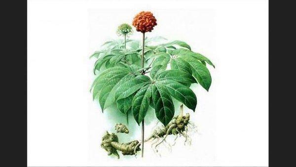 Kết hợp nấm linh chi giữa hoa tam thất là một sự kết hợp hoàn hảo