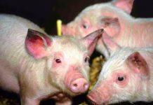 Cách phòng bệnh viêm dạ dày ruột truyền nhiễm ở lợn